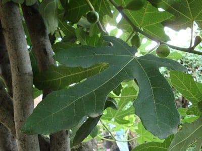 Plantas que ayudan la higuera for Arboles de jardin de crecimiento rapido
