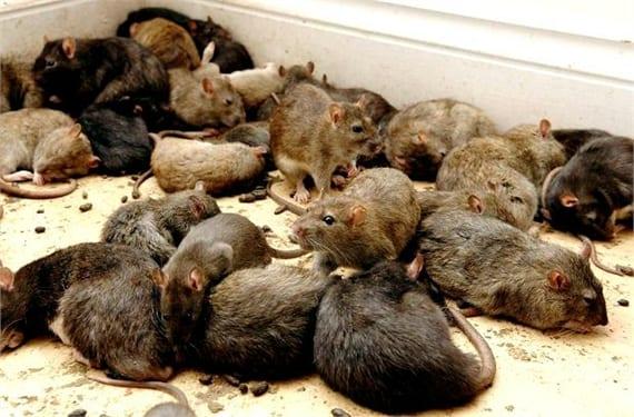 ratas gigantes 1(2)